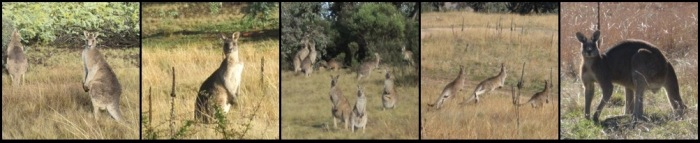 Kangaroos in the bushland behind my parents' house in Canberra.
