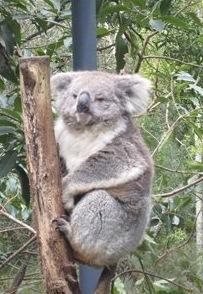 Koala in an animal park in Victoria.