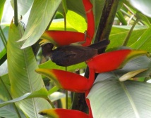A bird sipping at a heliconia flower