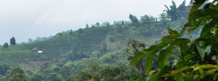Terraced rows of tea plants growing in the mountains of southern Yunnan province.