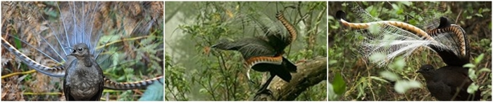 Male superior lyrebirds performing.
