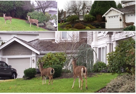Deer in suburban Sammamish